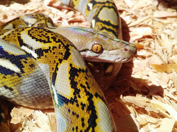 One Animal Close-up Big Baby Reticulatedphyton Naughtay Fox Professional Snake Handler Snake Charmer Reticulatedpython Snake Red Eyes Red Eye Snake Eyes Retic Snake Face Reptile Morph Reptile Photography Platinum Python Black And Yellow  Reptile Eyes Looking At Camera Reptile Collection Reptile Love Perspectives On Nature