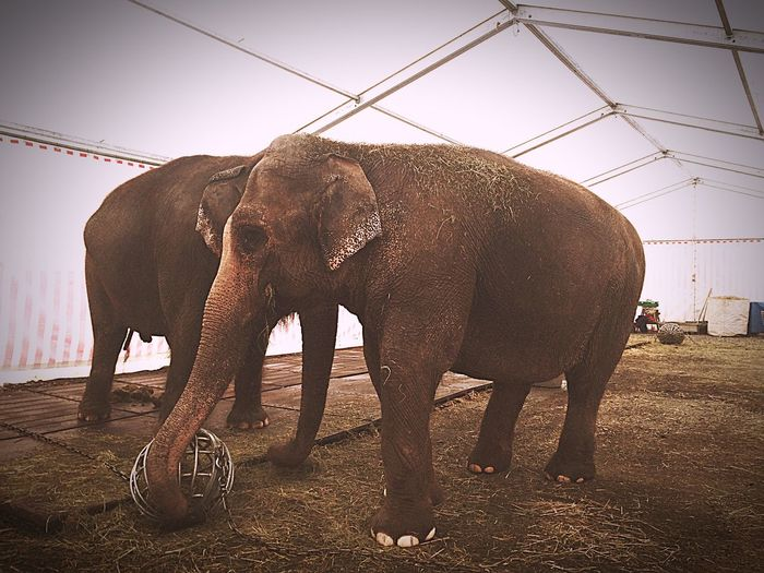Knie Circus Elephants Animals