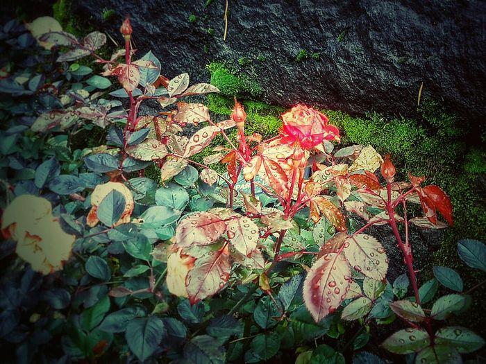 Rain Wet Rose Roses Moss Portland Wet Ground
