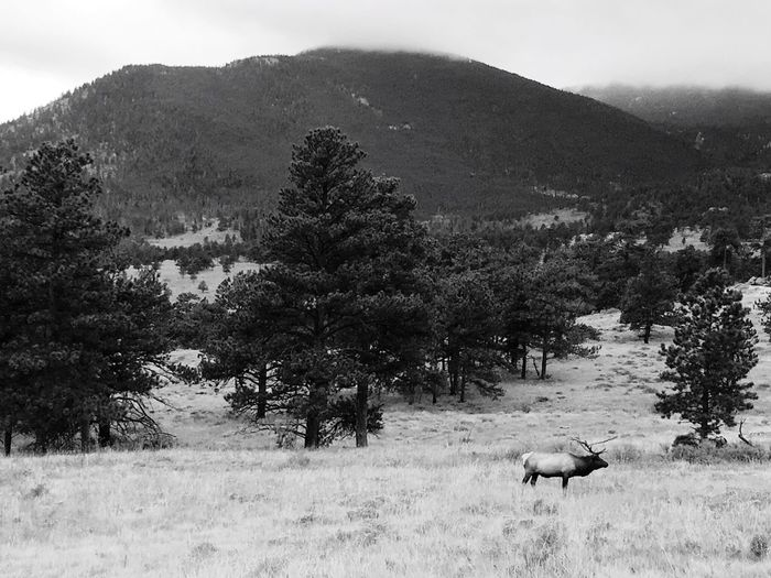Tree Nature Animal Themes Mountain One Animal Landscape Field Animals In The Wild Mammal No People Beauty In Nature Grazing Outdoors Plant Scenics Day Grass Domestic Animals Sky Colorado Colorado Photography Elk Wapiti Blackandwhite Black And White Been There. Lost In The Landscape