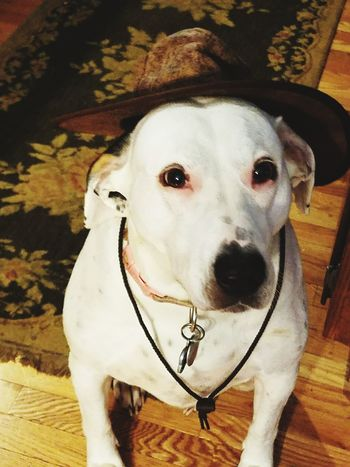 Dog Pets Domestic Animals One Animal Mammal Animal Themes Looking At Camera Portrait No People Day Indoors  Close-up cowboy hat EyeEmNewHere Rethink Things Rethink Things Perspectives On Nature Postcode Postcards