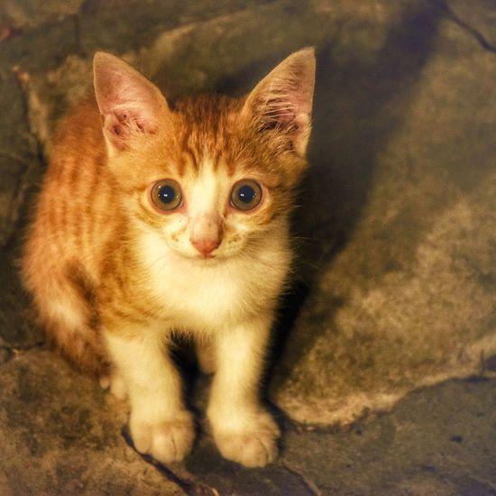 Pets Portrait Kitten Feline Domestic Cat Looking At Camera Whisker Cute Close-up