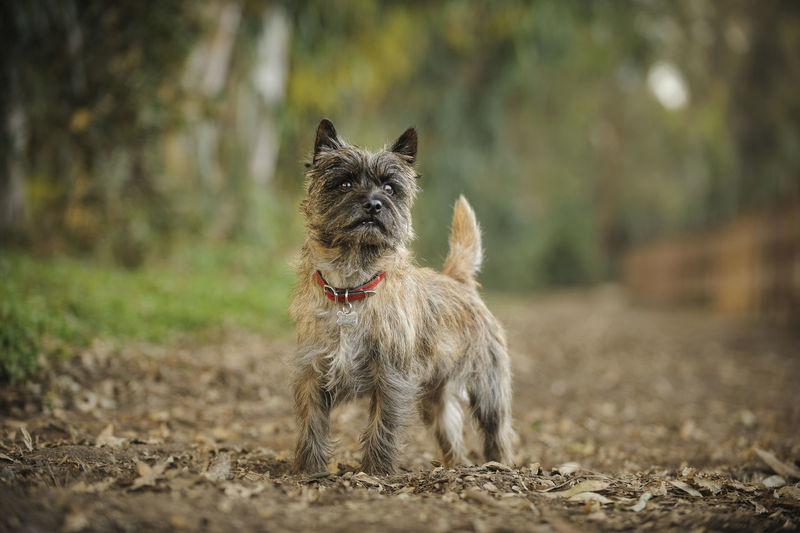 Cairn Terrier On Field