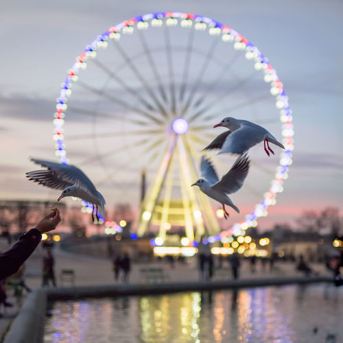 Cropped Image Of Hand Feeding Seagulls At Jardin Des Tuileries During Dusk