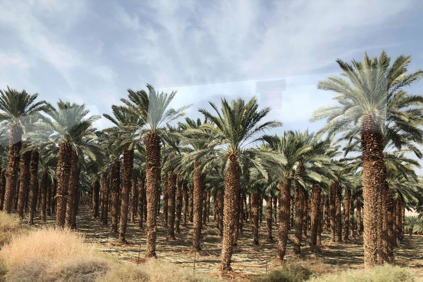 Palm tree farm Palm Tree Growth Nature Sky Tree Trunk Day No People Outdoors Scenics Beauty In Nature Agriculture
