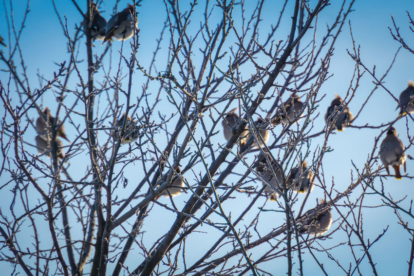 Wintertime Animal Animal Themes Animal Wildlife Animals In The Wild Bare Tree Beauty In Nature Bird Branch Day Group Of Animals Low Angle View Nature No People Outdoors Perching Plant Sky Tree Vertebrate Waxwing Waxwings