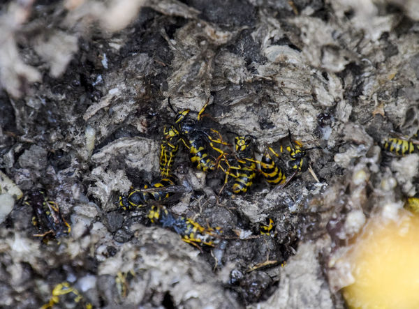 Vespula vulgaris. Destroyed hornet's nest. Drawn on the surface of a honeycomb hornet's nest. Larvae and pupae of wasps. vespula, vulgaris, wasp, mink, nest, fly, destroyed, gutted, killed, collapsed, dead, dismantled, pulled, larvae, pupae, death, excavated, sting, predator, forager, insect, striped, hymenoptera, animals, colony, insects, macro, nature, poisonous, summer, stinger, antenna, filigree, stinging, bee, hexagon, hornet, bug, wasps, chew, wing, fragility, common, pollen, laying, wood, paper, honey, arthropoda, vespiary Animal Themes Animal Wildlife Animals In The Wild Close-up Day Full Length Insect Nature No People One Animal Outdoors Rough Textured  Vespula Vespula, Vulgaris, Wasp, Mink, Nest, Fly, Destroyed, Gutted, Killed, Collapsed, Dead, Dismantled, Pulled, Larvae, Pupae, Death, Excavated, Sting, Predator, Forager, Insect, Striped, Hymenoptera, Animals, Colony, Insects, Macro, Nature, Poisonous, Summer,  Vulgaris Wasp Yellow