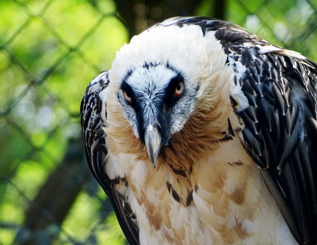 Bird Photography Animal Photography Bird Of Prey Bird Portrait Perching Multi Colored Beak Owl Looking At Camera Closing Feather  Vulture