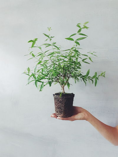 Cropped Holding Potted Plant Against Wall