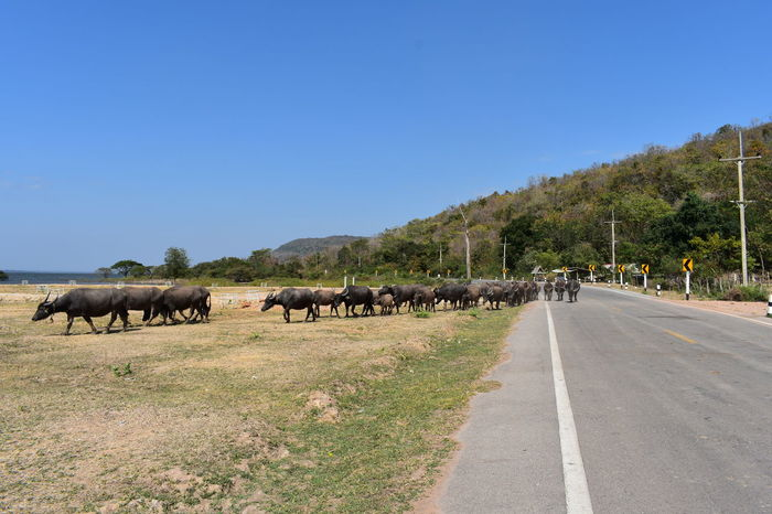 buffaloes lining , following leader looking for grass on dry grassland Country Road Grazing Leader Trees Blue Sky Buffaloes Dry Grassland Herd Of Buffaloes Roaming For Grass On Dry Ground Mountain