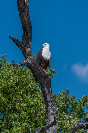 African Fish Eagle Animal Themes Avian Beauty In Nature Blue Branch Close-up Day Focus On Foreground Green Color Growth Low Angle View Nature No People Outdoors Perching Sky Tree Tree Trunk Wildlife