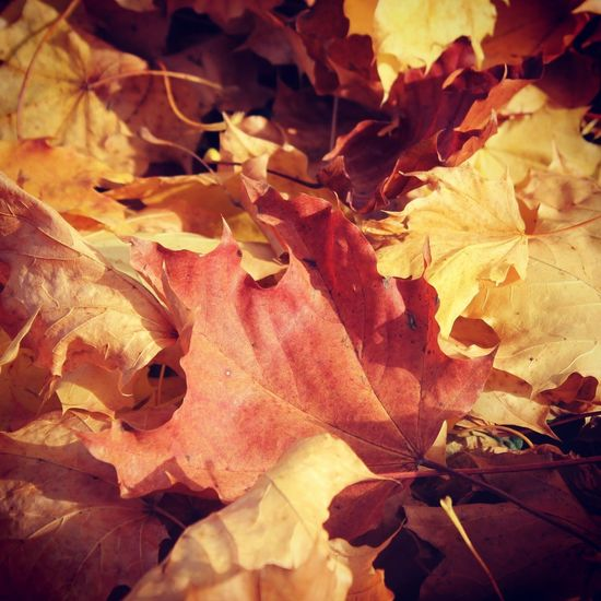 Leafs Leaf Autumn Change Dry Leaves Nature Fallen Maple Maple Leaf Beauty In Nature Outdoors Close-up No People Fragility