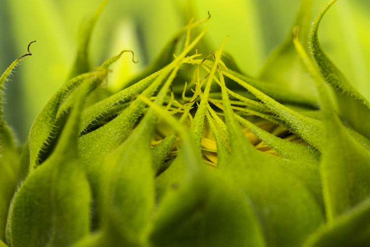 Not seen the sun yet Green Color Plant Leaf Plant Part Selective Focus Growth Close-up Beauty In Nature Nature Full Frame Freshness Herb Sunflower Flower Head Macro Closeup Green