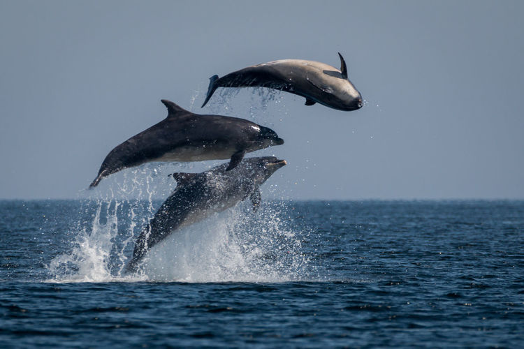 Rare view of three jumping dolphins