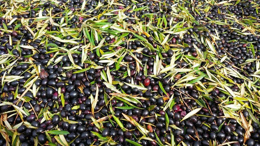El olivo es más agradecido que la gente, por cada beneficio te devuelve veinte. Olive Olives Aceitunas Full Frame Backgrounds No People Abundance Large Group Of Objects Day Outdoors