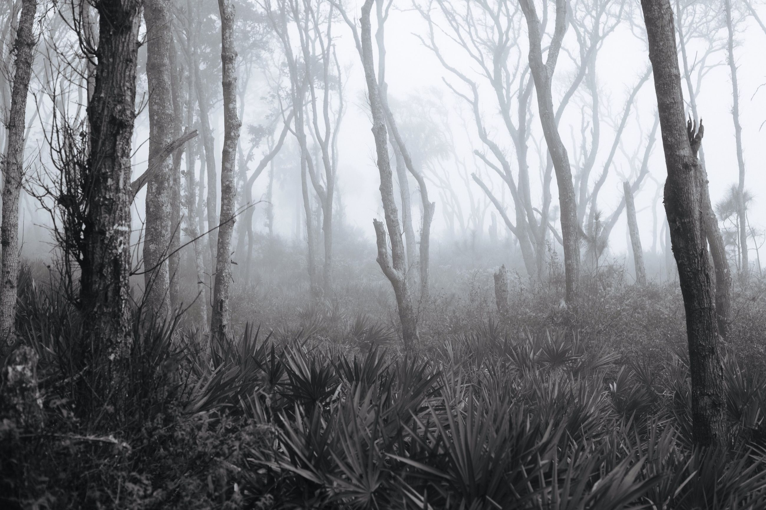 tree, fog, tranquility, forest, tree trunk, tranquil scene, foggy, woodland, nature, scenics, bare tree, beauty in nature, growth, branch, non-urban scene, weather, landscape, day, idyllic, outdoors