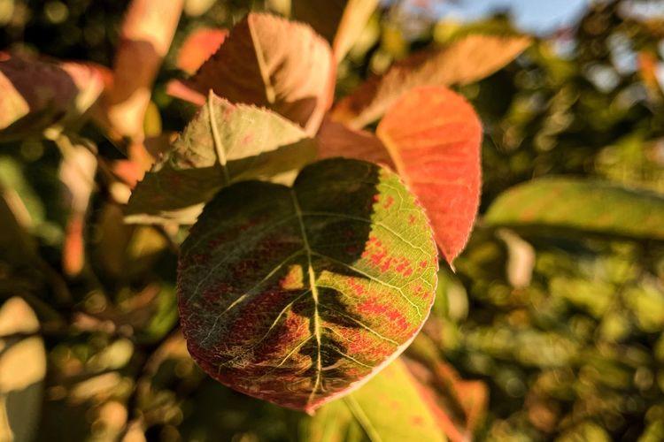 Autumn Leaves,