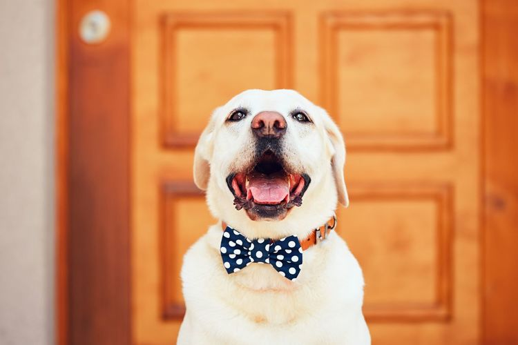 Dog with bow tie. Happy labrador retriever sitting in front of the house. Accessories Animal Themes Bow Tie Cheerful Dog Dogslife Domestic Animals Door Elégance Entrance Fashion Funny Happiness Happy Home House Looking At Camera Loyalty No People Obedience One Animal Pet Clothing Pets Portrait Smile