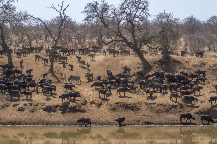 High angle view of buffaloes on landscape