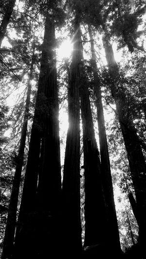 Redwood Big