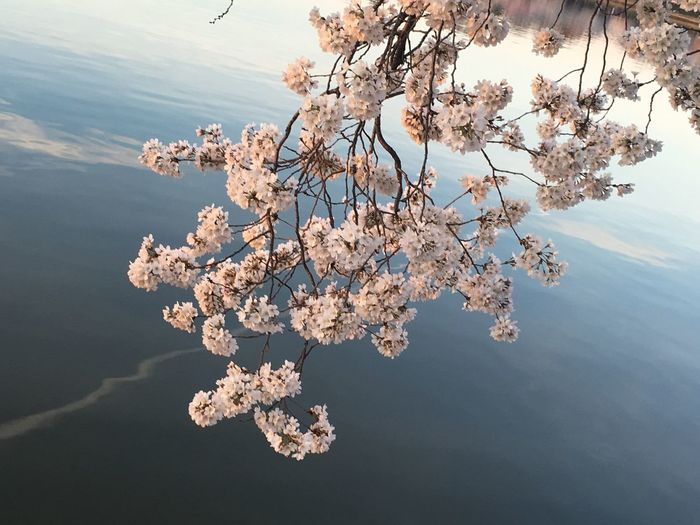 Cherry blossom twig over water