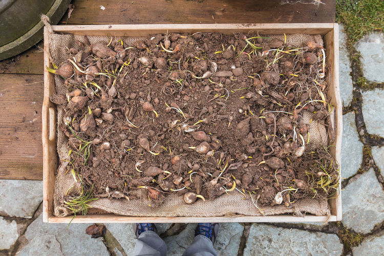 Gift from my cousin. Bulbs Close-up Day Flagged Floor Flower Bulbs Freshness Gardening High Angle View Legs And Shoes Nature Outdoors Plant Sapling Shoes Soil Wood - Material Wooden Table Wooden Tray Nusshain 02 17