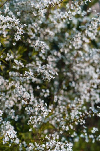Plant Flower Flowering Plant Freshness Beauty In Nature Growth Fragility Vulnerability  Blossom Day Tree No People Nature Selective Focus Springtime Outdoors Close-up White Color Branch Tranquility Flower Head Cherry Tree Cherry Blossom