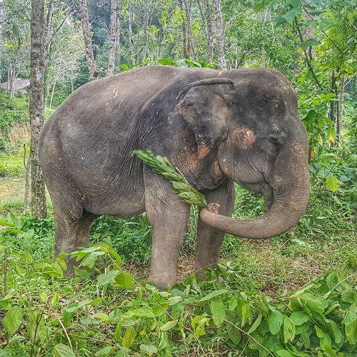 Slap the Scratches Close-up Plants Free Roaming Thailand Sanctuary  Animal Trunk Elephant Safari Animals Tree Grass Green Color Trunk Asian Elephant