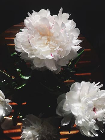 New Blooms. Floral Flower No People Nature Black Background Close-up Petal Fragility Flower Head Indoors  Lifestyles Shadow Shadows & Lights Art Is Everywhere Simple Photography