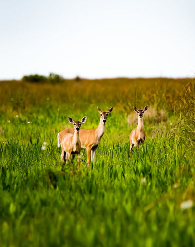 Wildlife Photography Animal Animal Themes Group Of Animals Grass Animals In The Wild Animal Wildlife Mammal Plant Vertebrate Field Green Color Nature Selective Focus No People Land Deer Day Beauty In Nature Domestic Animals Landscape Outdoors Herbivorous Herd
