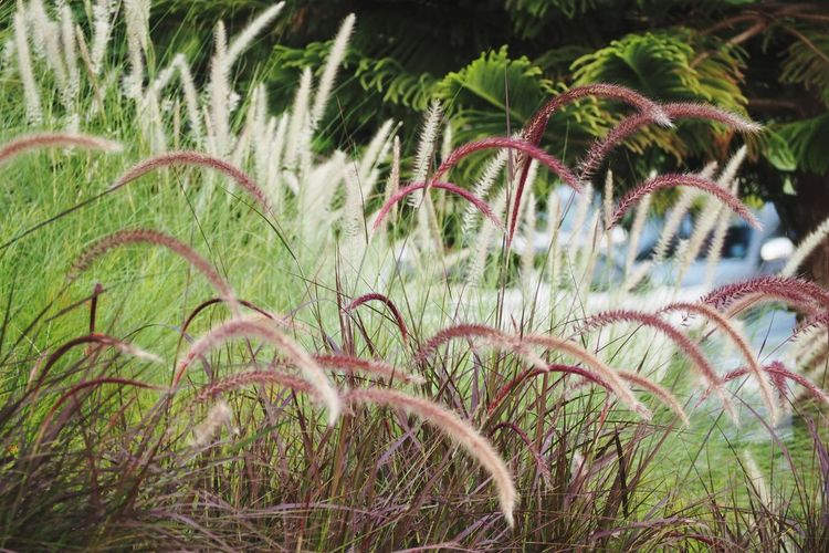 Flower Blady Grass Fountain Grass Pennisetum Plant Field Purple Water Grass Close-up Plant Wheat Farmland Growing Agricultural Field