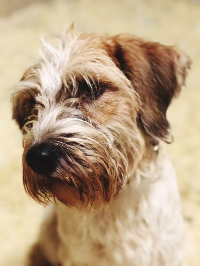 Dog One Animal Animal Themes No People Portrait Wirehaired head Pets Focus On Foreground