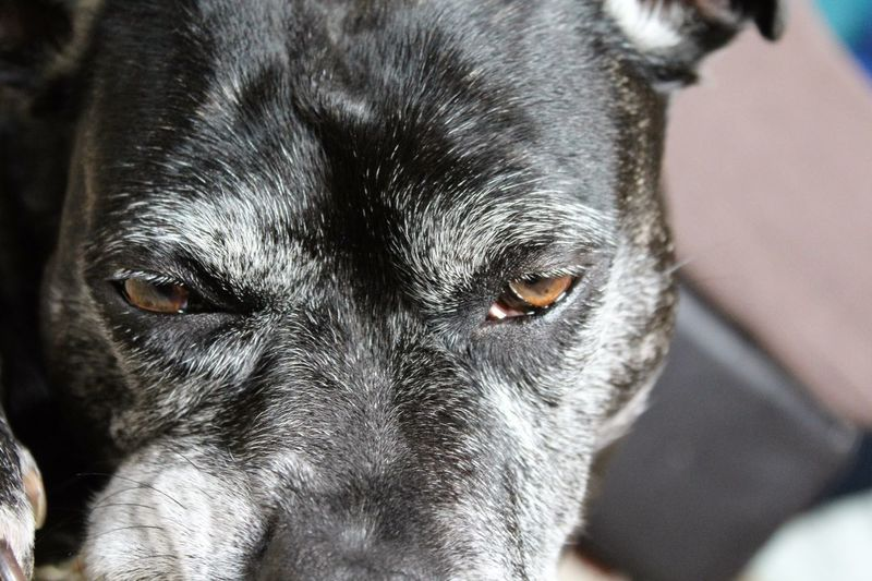 Staffylovers Staffies There Softer Than You Think Staffy Dog Cute Dog  Dog Love Doglover Dog Eyes