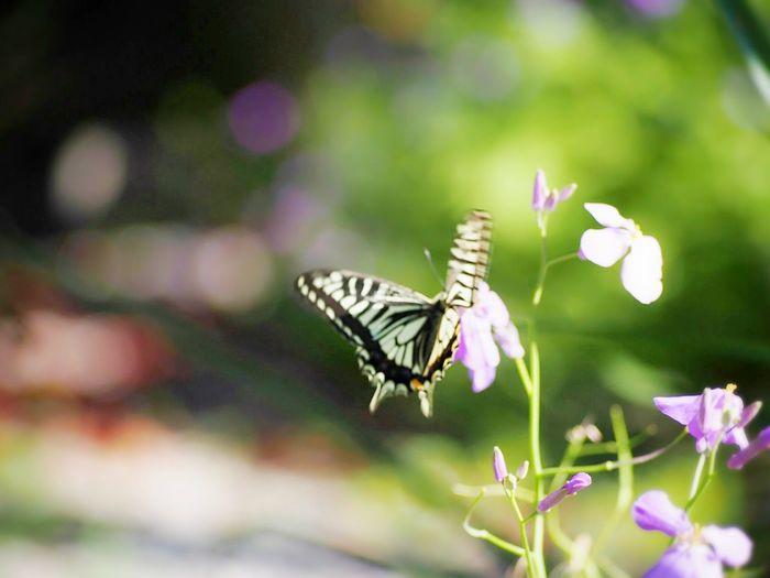 優しい夢を… アゲハ蝶 蝶々 Butterfly Butterfly Collection Butterfly - Insect Insect Collection Taking Photos 日だまり EyeEm Nature Lover EyeEm Gallery EyeEm Best Shots Eyemphotography My Point Of View EyeEm Best Shots - Nature Beauty In Nature