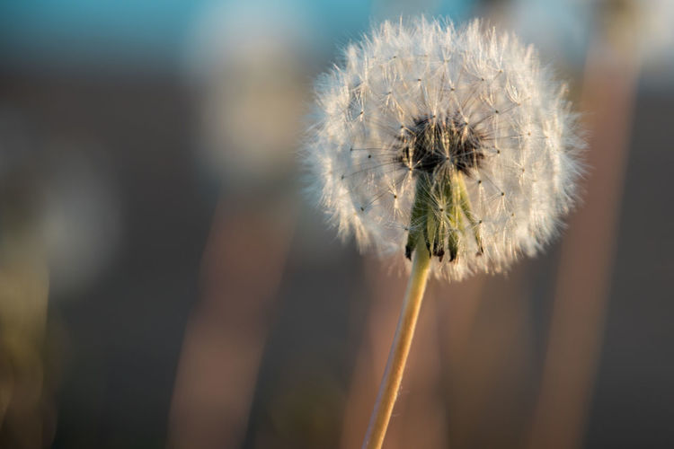 Dandelion Gone to Seed Flower Flowering Plant Plant Fragility Dandelion Vulnerability  Beauty In Nature Growth Close-up Nature No People Flower Head Selective Focus Dandelion Seed Gone To Seed Copy Space Isolated