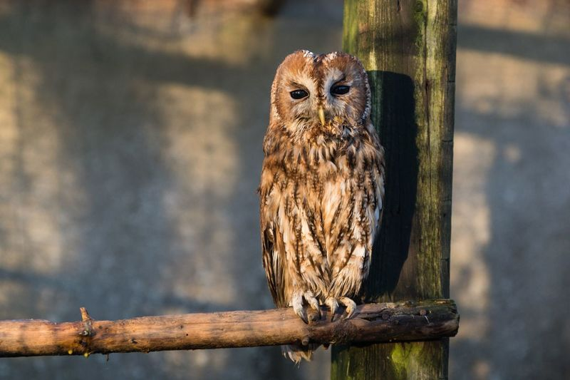 Waldkauz Wildtierauffangstation Owl Waldkauz EyeEm Selects Animal Themes Animal Vertebrate Bird One Animal Animal Wildlife Bird Of Prey Outdoors Nature Focus On Foreground