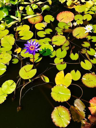 Leaf Growth Flower Beauty In Nature Nature Pond Water Lily Floating On Water Freshness Lily Pad Fragility Outdoors High Angle View Water Plant No People Day Petal Close-up Lotus Water Lily