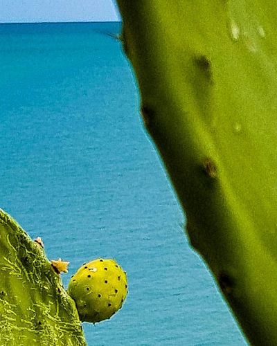 Prickly Pear Cactus Prickly Pear Travel Photography Green Blu Vieste Puglia Gargano Coast Gargano Italy Fruit Tree Trees Water Sea Blue Summer Leaf Sky Close-up Seascape Turquoise Colored Horizon Over Water