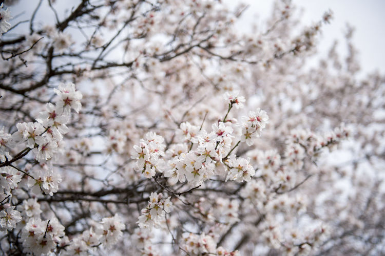 Flowering Plant Plant Flower Freshness Fragility Tree Blossom Cherry Blossom Growth Branch Nature Springtime Cherry Tree No People Outdoors Almond Tree Almond Blossom Blooming Beauty In Nature Vulnerability  Day Close-up Focus On Foreground White Color Fruit Tree Flower Head