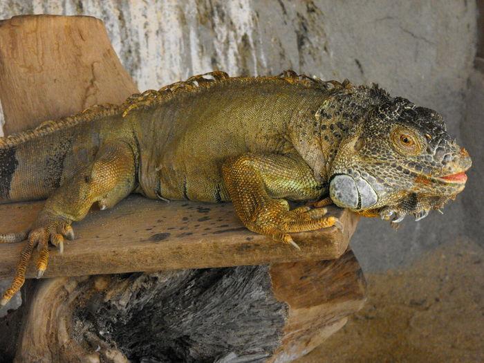 A hungry iguana