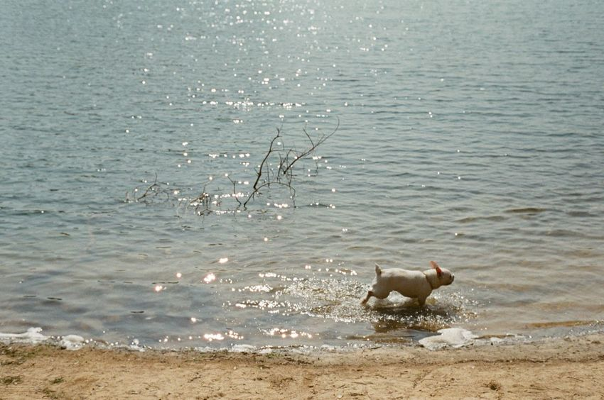 Little Dog in Lake Animal Themes Beach Bird Day Dog Domestic Animals High Angle View Mammal Nature No People One Animal Outdoors Pets Sand Sea Water