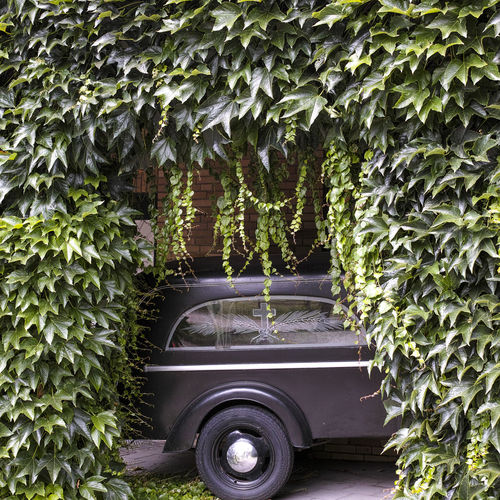 Funeral car Architecture Beauty In Nature Built Structure Car Creeper Plant Day Funeral Funeral Car Funeral Ceremony Funeral Home Green Color Growth Ivy Land Vehicle Leaf Mode Of Transportation Motor Vehicle Nature No People Outdoors Plant Plant Part Transportation Tree Wheel