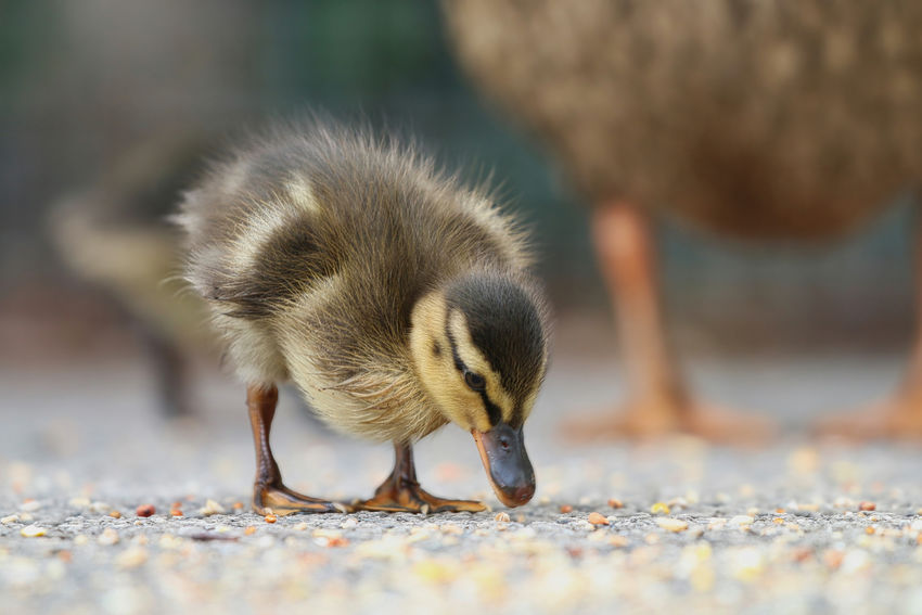 Mallard Duckling Animal Animal Themes Animal Wildlife Animals In The Wild Bird Close-up Day Duckling Eating Food Goose Gosling Land Nature No People One Animal Outdoors Selective Focus Surface Level Vertebrate Young Animal Young Bird