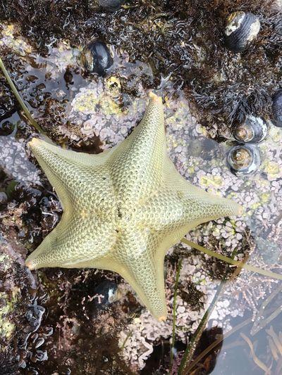 Starfish in Monterey, CA California Echinoderm Monterey Nature Tide Pools Coastal Invertebrate Monterey Ca No People Outdoors Pacific Coast Sea Starfish  Tidepools Water First Eyeem Photo
