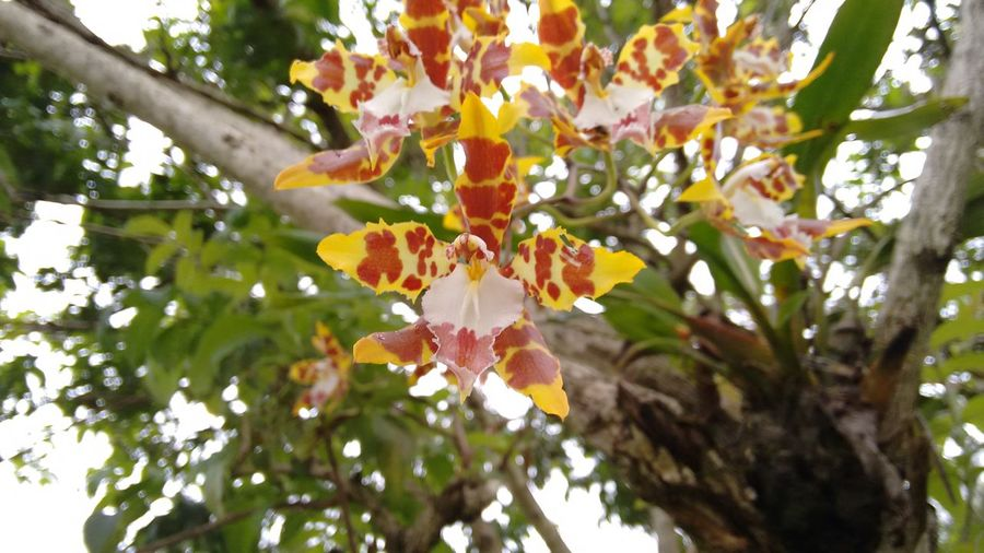 Tiger orchid Tree Nature Flower Beauty In Nature Branch Day No People Outdoors Fragility Freshness Growth Leaf Springtime Close-up Flower Head Plant Tiger Orchid Orchid Nature_collection EyeEm Orchids Orchids, Flowers, Colorfull Orchids Collection Plants 🌱 Beauty In Nature No Filter, No Edit, Just Photography