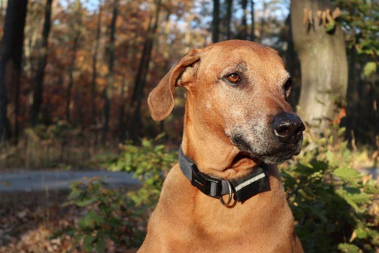 Quantor, my Rhodesian Ridgeback (10 years) Herbstsonne Herbstlaub Waldspaziergang Frankfurt Wolters Rhodesian Ridgeback Animal Themes Pets Animal Dog Pet Collar Nature Sunlight