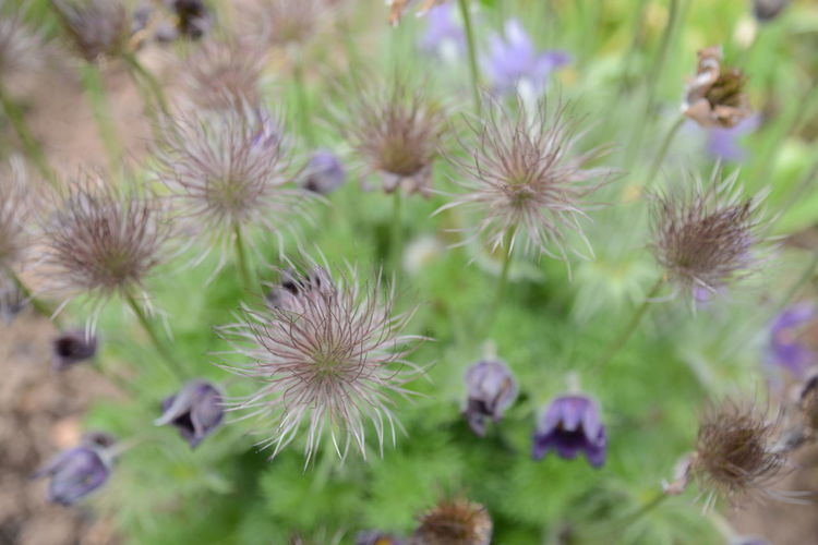 Plant Flower Flowering Plant Growth Beauty In Nature Freshness Fragility Vulnerability  Close-up Nature No People Day Flower Head Outdoors Selective Focus High Angle View Inflorescence Land Tranquility Beauty Purple Spiky