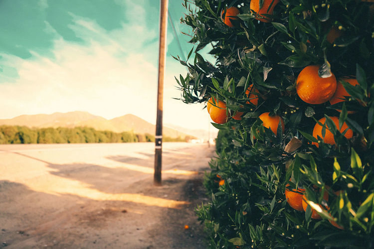 Close-Up Of Fresh Orange Tree Against Sky
