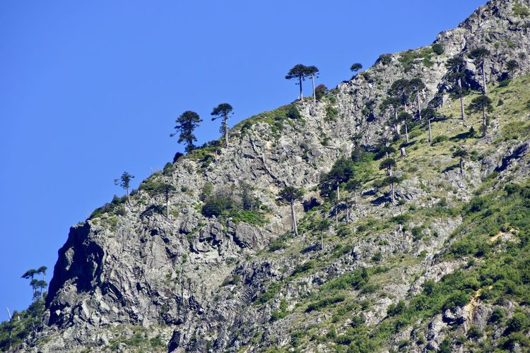 Trees on cliff against clear blue sky