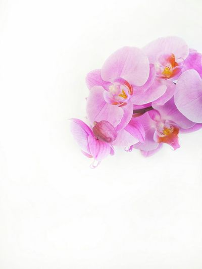 FALENOPSIS❤ Falenopsis Flower Pink Color Petal Purple Pastel Colored No People Watercolor Painting Flower Head White Background Ink Multi Colored Fragility Close-up Nature Beauty In Nature